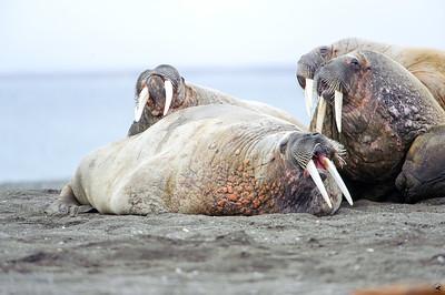 walrus_2458