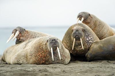 walrus_2451