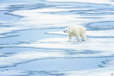 polar bear_1639