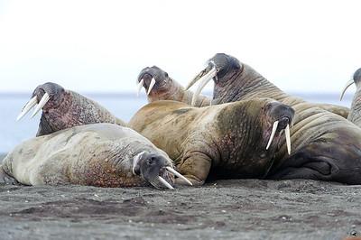 walrus_2530