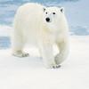 polar bear_1673