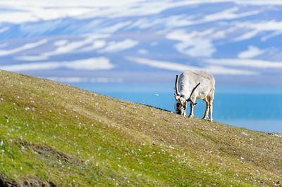 reindeer_1332