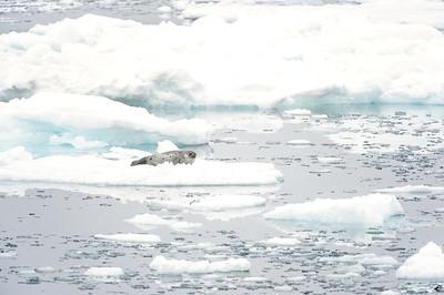 harp seal_1971