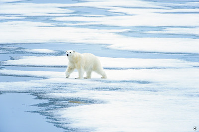polar bear_1637