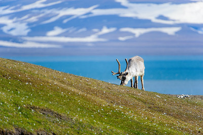 reindeer_1324