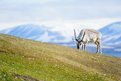 reindeer_1352