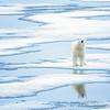 polar bear_1644