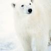 polar bear_1690