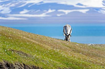 reindeer_1328