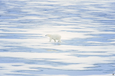 polar bear_1810