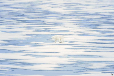 polar bear_1809