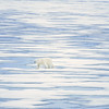 polar bear_1808