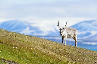 reindeer_1339