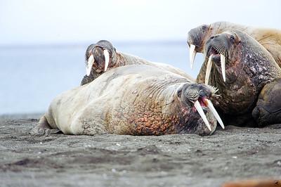 walrus_2460