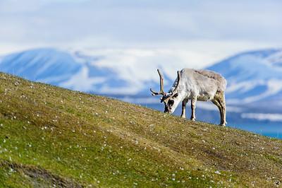 reindeer_1342