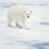 polar bear_1665