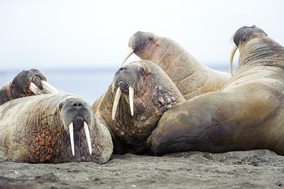 walrus_2453
