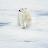 polar bear_1662