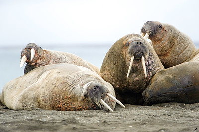 walrus_2444