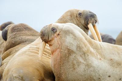 walrus_2442