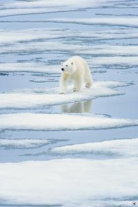 polar bear_1652