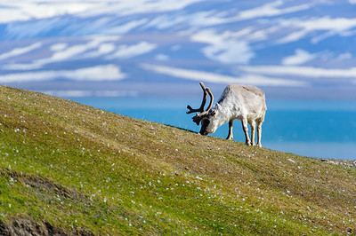reindeer_1329