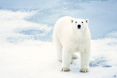 polar bear_1676