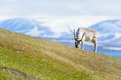 reindeer_1338