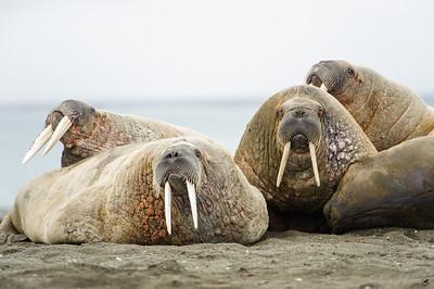 walrus_2449