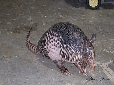 Armadillo in my garage