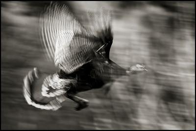 Wild Turkey in flight.