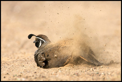 Male California Quail giving itself a dirt bath - Callipepla californica