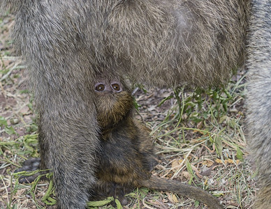 Baby Baboon on the Bottom