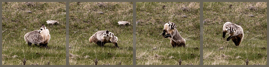 After this badger chased a Canada Goose, it did this amped up display. It threw its head up & back and jumped straight up and then ran off.