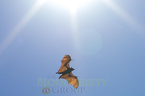 Grey-headed Flying-fox (Pteropus poliocephalus)
