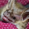 Nyctophilus geoffroyi  (Lesser Long-eared bat)