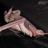 Mormopterus planiceps  (inland Freetail Bat)