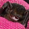 Chalinolobus gouldii  (Gould's Wattled Bat)