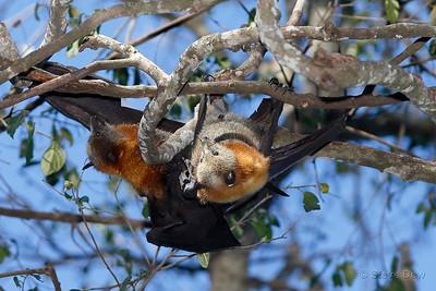Grey-headed Flying Fox