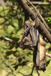 Straw-coloured Fruit Bat (Eidolon helvum) at the Jacksonville Zoo and Gardens.