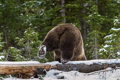 North American Brown Bear