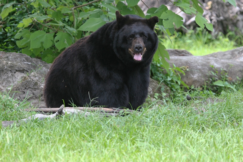 Florida black bear sits in the shade