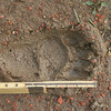 Bear track in mud_RS84305
