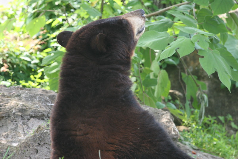 Florida black bear raises his nose to sniff the air