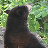 Florida black bear raises his nose to sniff the air