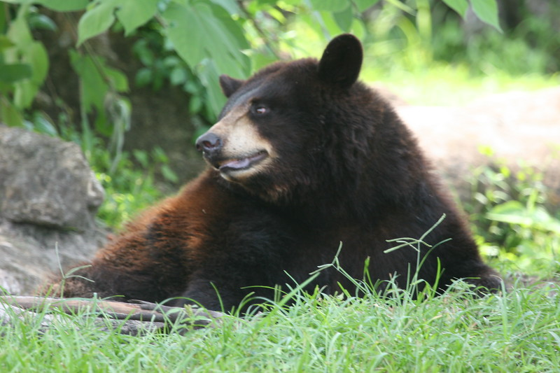 Florida black bear resting in the shade