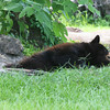 Florida black bear lying down