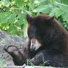 Florida black bear checking his foot