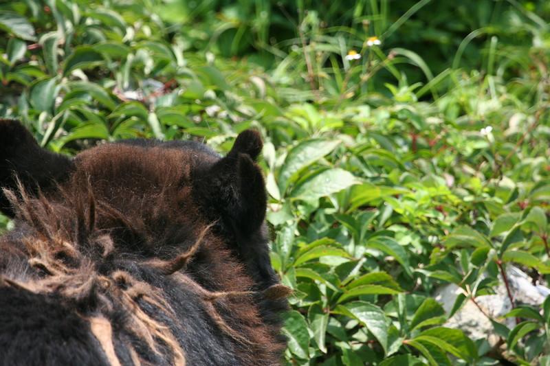 Florida black bear with shaggy coat