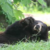 Florida black bear raises his foot